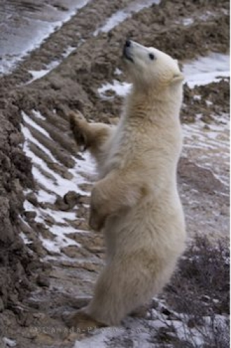 Photo: Curious Baby Polar Bear Tundra Buggy Churchill