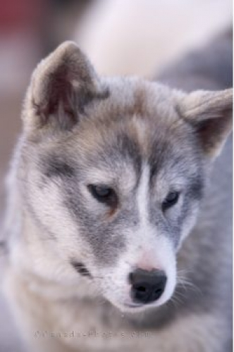Photo: Cute Canadian Eskimo Dog Puppy Churchill Manitoba