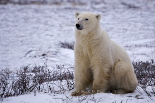 Photo: Cute Sitting Polar Bear Churchill Manitoba