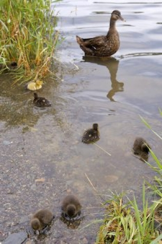 Photo: Mallard Duck Family