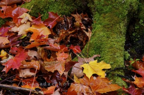 Photo: Fallen Leaves Algonquin Provincial Park