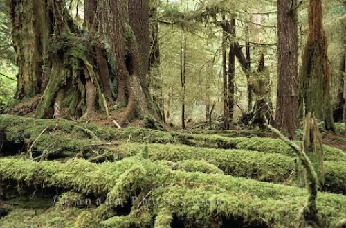 Photo: Graham Island Rainforest British Columbia
