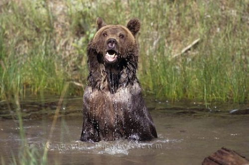 Picture of Grizzly Bear Bath Alaska.