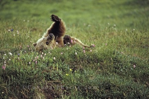 Photo: Grizzly Bear Fun Alaska