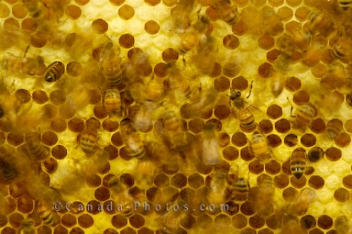 Photo: Honey Bees in hive