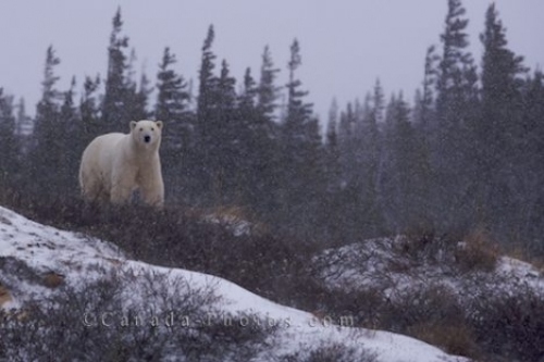 Photo: Hudson Bay Polar Bear Winter Churchill Manitoba