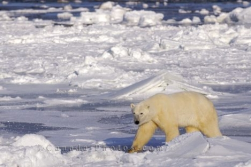 Photo: Icy Hudson Bay Coastline Polar Bear Churchill Manitoba