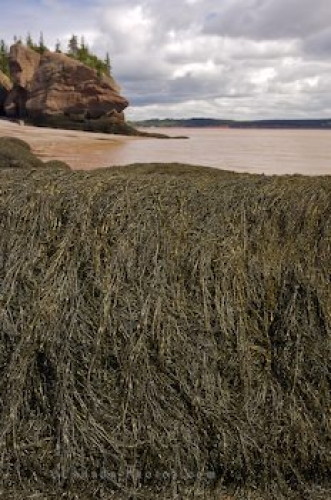 Photo: Kelp Hopewell Rocks New Brunswick