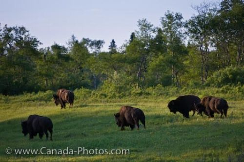 Photo: Lake Audy Bison Enclosure Riding Mountain National Park Manitoba