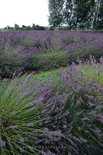 Photo: Lavender Flowers