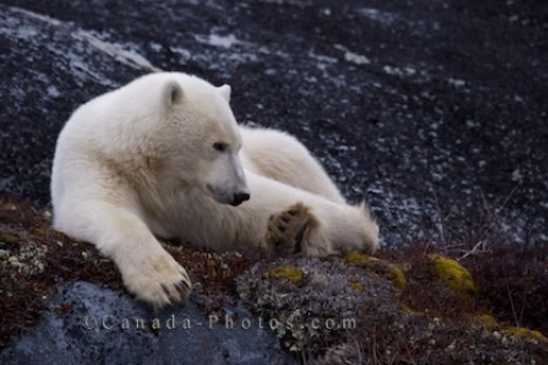 Photo: Lazy Polar Bear Churchill Manitoba