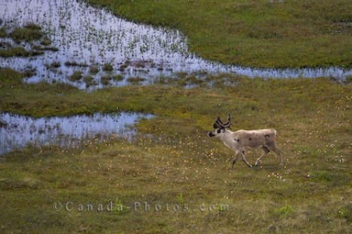 Photo: Male Caribou Picture