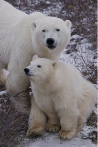 Photo: Mother Polar Bear With Cub Churchill Wildlife Management Area
