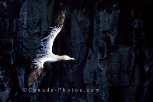 Photo: Northern Gannet Picture