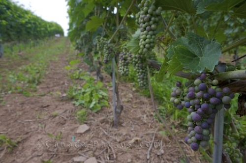 Photo: Nova Scotia Vineyard Domaine De Grand Pre
