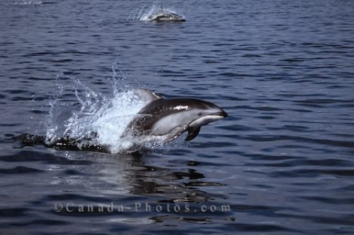 Photo: Pacific White Sided Dolphins BC