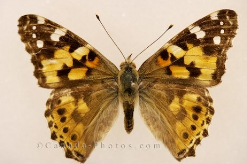 Photo: Painted Lady Butterfly Picture Newfoundland Canada