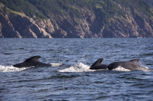 Photo: Long Finned Pilot Whales Nova Scotia