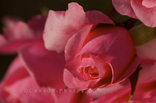 Photo: Pink Rose Bush Rose Garden Montreal