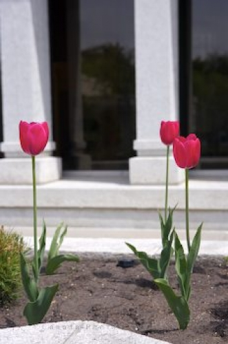 Photo: Pink Tulips Alberta Temple