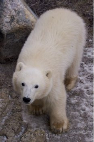 Photo: Polar Bear Baby Tundra Buggy Tours Churchill