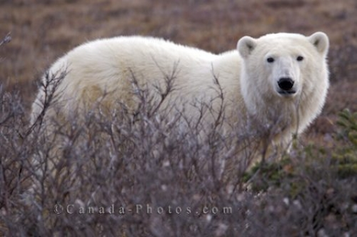 Photo: Polar Bear Barren Tundra Churchill Manitoba