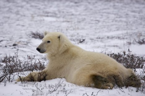 Photo: Polar Bear Bellyflop Pose Arctic Landscape