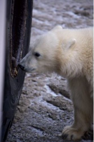 Photo: Polar Bear Cub Exploring Tundra Buggy Churchill Manitoba