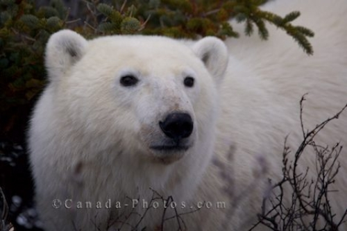 Photo: Polar Bear Face Tundra Wilderness Churchill Manitoba