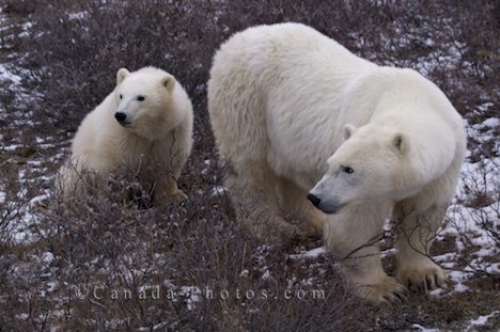 Photo: Polar Bear Family Churchill Manitoba