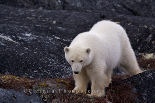 Photo: Polar Bear Global Warming Churchill Manitoba