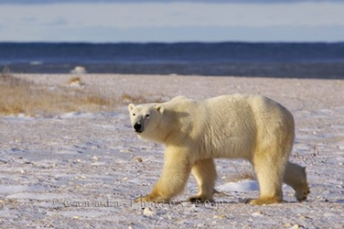 Photo: Polar Bear Hunt Churchill Manitoba