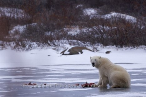 Photo: Polar Bear Meal Churchill Manitoba