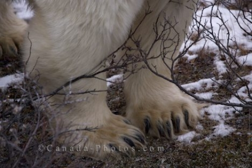 Photo: Polar Bear Massive Paws Picture