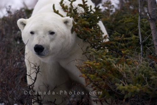 Photo: Polar Bear Peering From Behind Tundra Bush Churchill