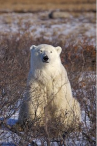 Photo: Polar Bear Pose Hudson Bay Manitoba