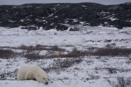 Photo: Polar Bear Snow Resting Hudson Bay Manitoba