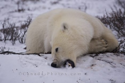 Photo: Polar Bear Teeth Churchill Manitoba