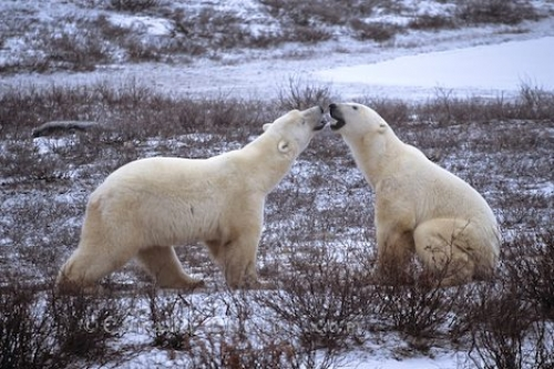 Photo: Polar Bears Tour Manitoba