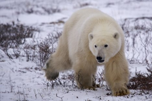 Photo: Polar Bear Trot Snow Covered Landscape Churchill
