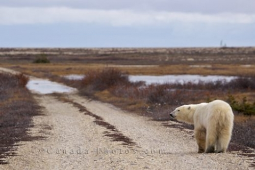 Photo: Polar Bear Tundra Churchill Wildlife Management Area