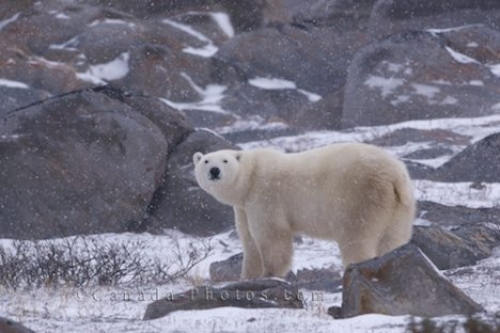 Photo: Polar Bear Weather Churchill Manitoba