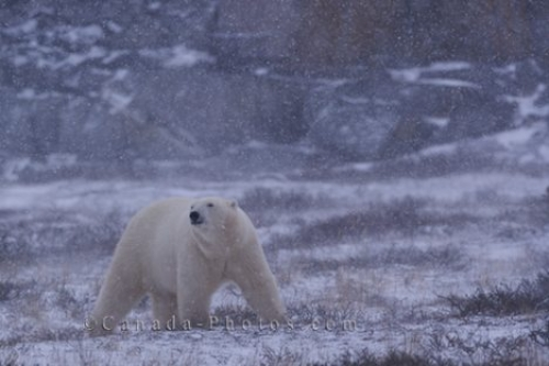 Photo: Polar Bear Winter Picture