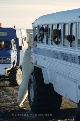 Photo: Polar Bear Bus Bear Watching