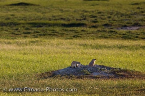 Photo: Cute Black Tailed Prairie Dogs