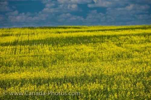 Photo: Qu Appelle Valley Canola Field Saskatchewan Canada