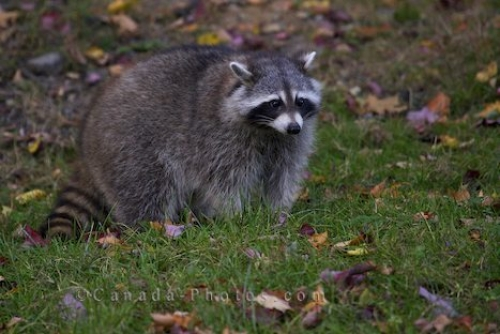 Canadian raccoon