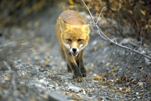 Photo: Red Fox Picture
