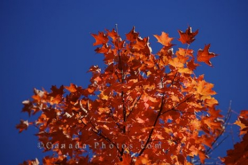 Photo: Red Leaves Algonquin Provincial Park Ontario