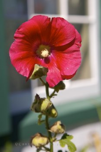 Photo: Hollyhock Bloom Prince Edward Island